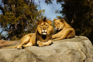lions on the rock