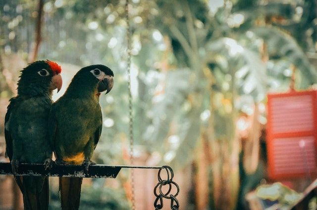 Parrot couple in their natural environment