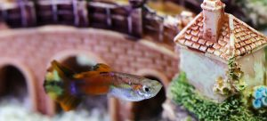 a fish swimming in a tank before preparing a fish tank for relocation